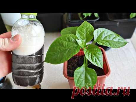 Кормите этим рассаду перца и помидор вплоть до высадки! Размер плодов вас приятно удивит! Подкормка