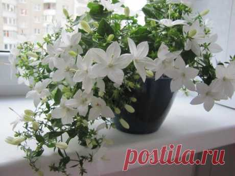 """Комнатный колокольчик - нежное растение для дома  Каждый цветовод-любитель просто мечтает свою коллекцию цветов пополнить нежными и очень естественными растениями. Хорошим выбором может стать колокольчик комнатный. Сам по себе колокольчик очень красивый, недаром ведь его называют """"женихом"""" или """"невестой"""". Народное название колокольчиков зависит исключительно от цвета самих цветочков.  Комнатный колокольчик растет как ампельный цветок в горшках, виды которого можно смело ко..."""