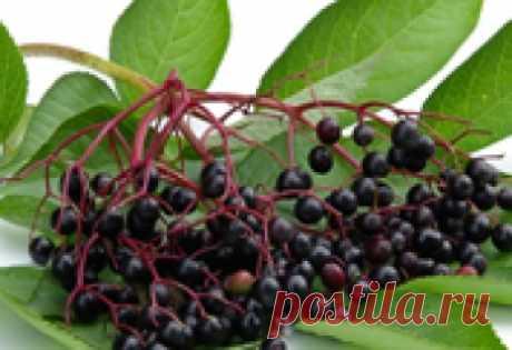 Бузина черная. Ягоды и цветы бузины черной: лечебные свойства, применение.
