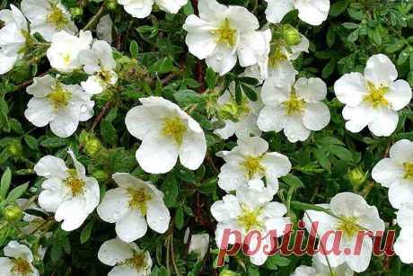 Полезные свойства лапчатки белой помогают при лечении тяжелых заболеваний - Цветочки - медиаплатформа МирТесен