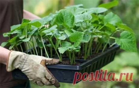 Когда сеять огурцы на рассаду в домашних условиях   Краше Всех