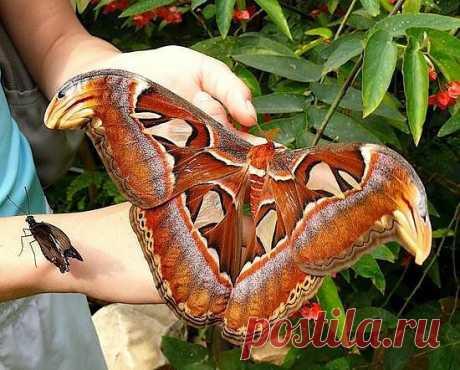 Павлиноглазка Атлас — бабочка из семейства павлиноглазок.  Считаются самыми большими бабочками в мире.  Размах крыльев достигаетот 25 до 29 см.  Обитают в тропических и субтропических лесах  Юго-восточной Азии, Южного Китая и от Таиланда до Индонезии.