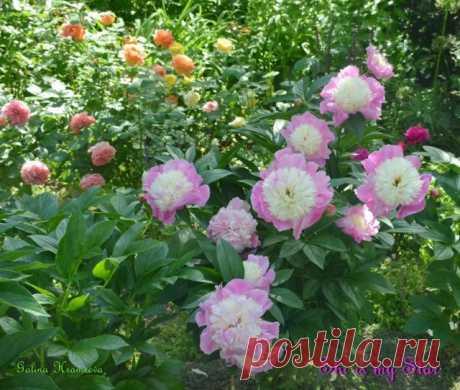 Выращивать пионы – сплошное удовольствие!   Личный опыт (Огород.ru)
