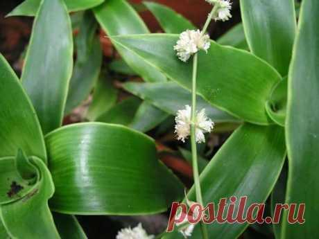 Цветок «Золотой ус»: уход и выращивание в домашних условиях Что это за цветок Это многолетнее растение из Мексики. У него много народных названий. Скажем, в некоторых регионах растение называют кукурузкой или венериным волосом. Растет цветок медленно, листики ...