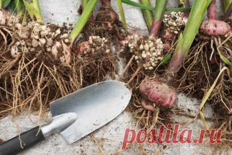 Гладиолусы отцвели, что делать дальше: когда обрезать и выкапывать, видео об уходе после цветения