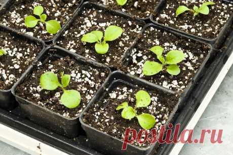 Как и когда высаживать семена петунии на рассаду