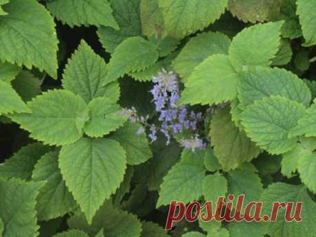 Шпороцветник, или плектрантус: выращивание, размножение