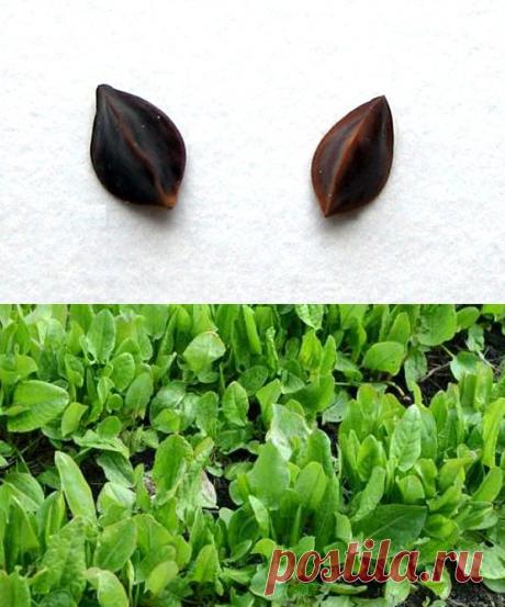 Щавель — выращивание и уход