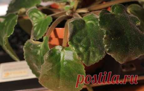 Почему появились и что делать с вялыми листьями у фиалки