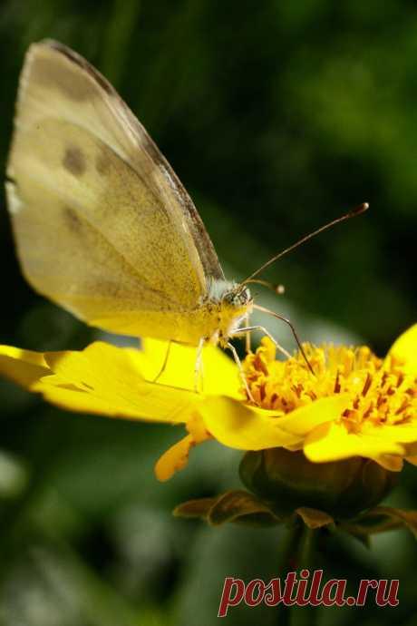 Бабочка...