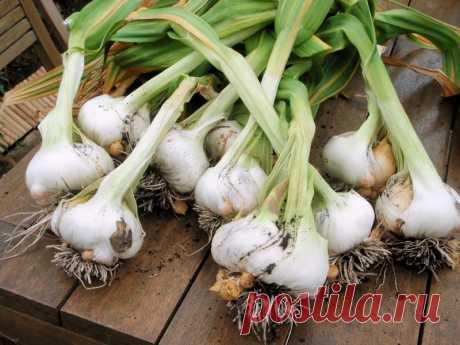 Больше чеснок не покупаю — домашнего хватает на весь год! Секрет выращивания крупного чеснока на подоконнике.