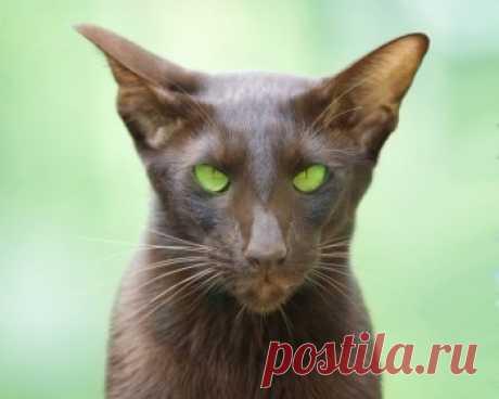 Ориентальная кошка очень умна, она производит впечатление живого существа, которое понимает если не все, то - почти все, что происходит и говорится вокруг.