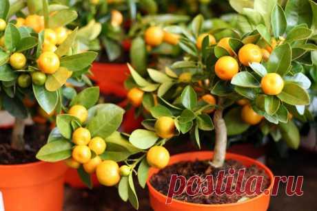 Выращивание лимонов и других экзотических фруктов из косточек в домашних условиях