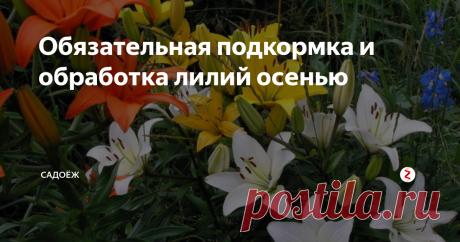 Обязательная подкормка и обработка лилий осенью | садоёж | Яндекс Дзен