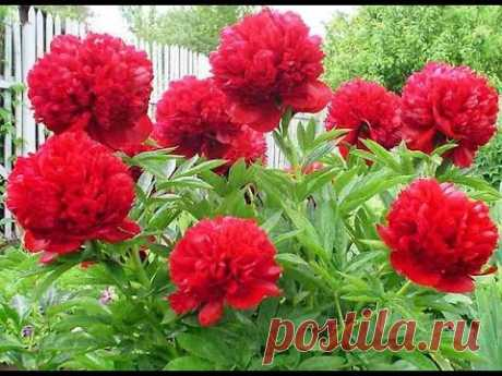 Peonies: subtleties of leaving and why they do not blossom