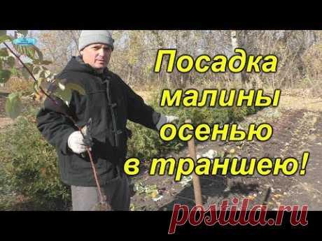 Осенняя посадка малины. Самый рабочий способ! - YouTube