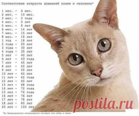 Соответствие возраста домашней кошки и человека
