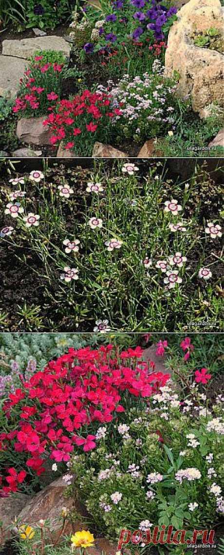 Гвоздика травянка | Дачная жизнь - сад, огород, дача.  Сегодня мы расскажем еще об одном растении, которое растет на альпийской горке в нашем саду, и покажем несколько фотографий. Это растение называется гвоздика травянка.  Read more: https://www.ufagarden.ru/dekorativni-sad/gvozdika-travyanka.html