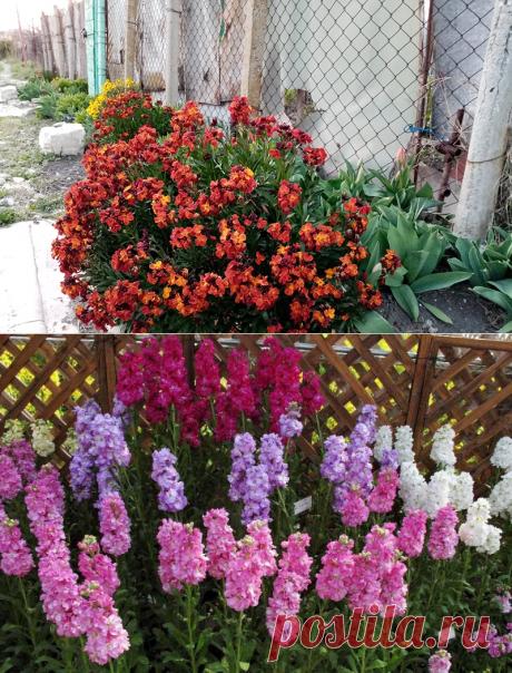 забытый садовый цветок