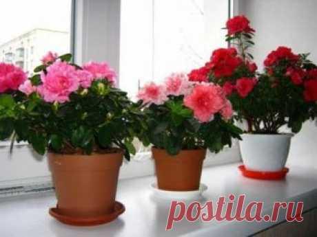 Какие цветы нельзя держать дома: 15 вредных комнатных растений Какие цветы нельзя держать дома и почему. Можно ли держать в квартире монстеру, диффенбахию, примулу. Какие кактусы самые опасные. Фото комнатных растений.