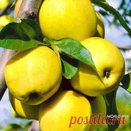 Яблоня после сбора урожая: 5 обязательных дел в августе и сентябре.