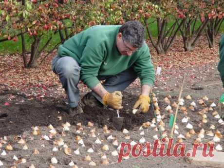 Осенняя посадка тюльпанов: делаем это в срок и правильно