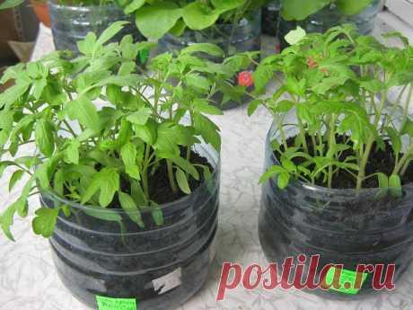 Кто попробует этот способ выращивания рассады – другого уже никогда применять не будет!