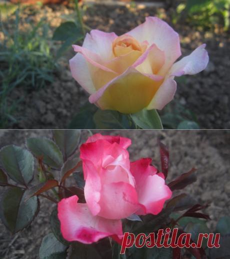 Французская классика: сорта роз Глория Дей и Роз Гожар-мои отзывы.   Приусадебный журнал   Яндекс Дзен
