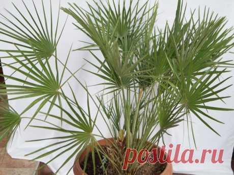 Хамеропс: размножение и уход в домашних условиях, описание сорта приземистый (хумилис) и фото, выращивание веерной пальмы из семян, болезни и вредители