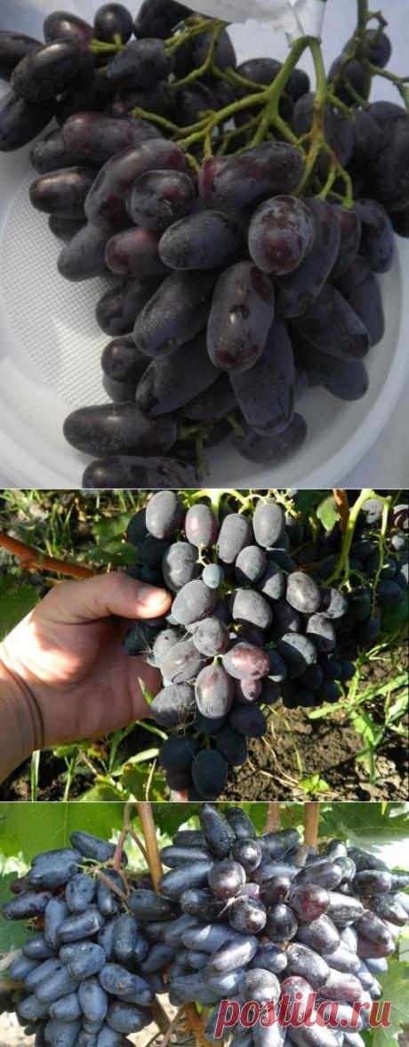Виноград Джованни: популярный российский сорт