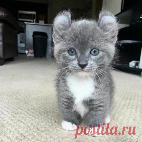 Кошки с короткими лапами: 12 пород котогномов