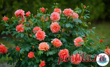 Рассказываю, как мне удается выращивать пышные и красивые розы у себя на участке используя средство за 50 рублей   Дача у озера   Яндекс Дзен