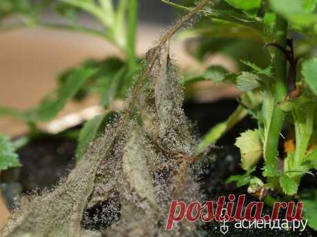 Инфекционные заболевания роз. Серая гниль. Ботритис: Группа Цветы и флористика