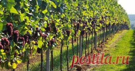 Как правильно обрезать виноград Имея свой виноградник, многие сталкиваются с проблемой — как правильно обрезать виноград. Ведь нужно создать такую форму, которая бы отлично подходила для погодных условий. А ещё необходимо учитывать, что зимой […]