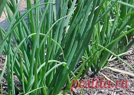 Как вырастить хороший урожай лука? 10 секретов | 6 соток
