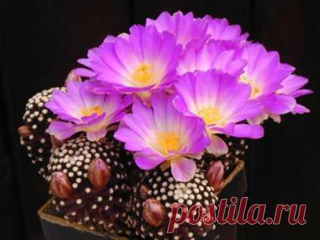 КАКТУСЫ. Это интересно. У кактусов выделяют несколько периодов — роста, цветения, отдыха. Во время роста они предпочитают яркий солнечный свет, высокую температуру и влажность. Свет вызывает быстрый рост тела кактуса и колючек...