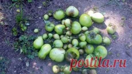 Чем обработать землю после фитофторы помидоров осенью Средства для обработки почвы от фитофторы после уборки томатов. Способы применения и дозировки.