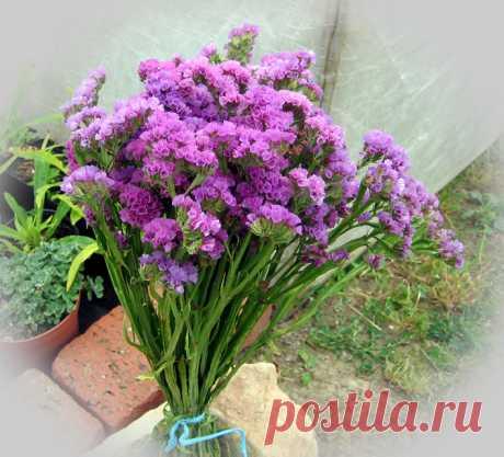 Цветок статица: фото, описание, размножение и уход - Sadovnikam.ru