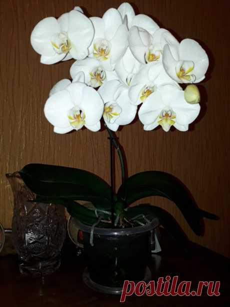 Я научу вас, как заставить орхидеи обильно зацвести. | Старуха Шапокляк. | Яндекс Дзен