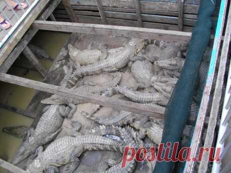 Крокодиловая ферма у камбоджийских вьетнамцев.