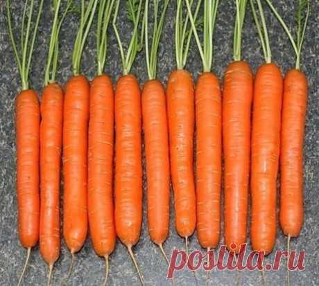 СЕКРЕТ ВЫРАЩИВАНИЯ МОРКОВИ Сохрани шпаргалку, поделись с одноклассниками! Я морковь сею следующим образом. Морковь любит глубоко возделанную плодородную почву. Не прореживаю, почти. Поступаю следующим образом: за 10-12 дней до посева семена моркови завязываем в тряпочку ( посвободнее). Закапываем во влажную землю на штык лопаты ( важно!). В течение этого срока из семян выветриваются эфирные масла, которые мешают семенам прорасти. По истечении указанного срока откапываем узелки с семенами из земл
