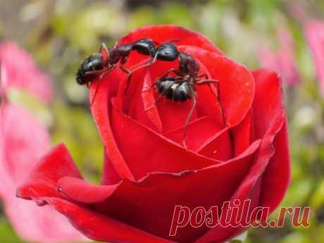 Como luchar de los pulgones sobre las rosas: los preparados eficaces y los medios públicos