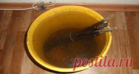 Чай для обработки от почкового клеща смородины