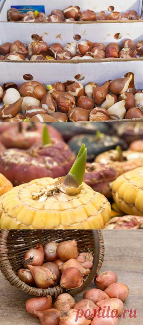 Как хранить зимой луковицы гладиолусов и тюльпанов / Цветы / 7dach.ru
