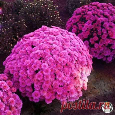 Делюсь, как ухаживать за хризантемой, чтобы из куста получился идеальный шар, покрытый цветами | КЛУМБА И ТЯПКА | Яндекс Дзен