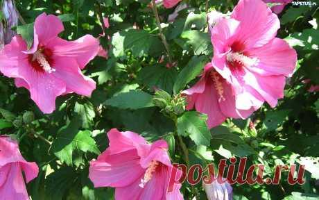 (Hibiscus) один из лучших длительноцветущих многолетников, он обильно цветет с июня до заморозков на солнечном, защищённом от холодного ветра месте.