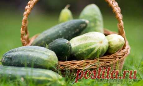 Как вырастить небывалый урожай огурцов – 9 проверенных советов