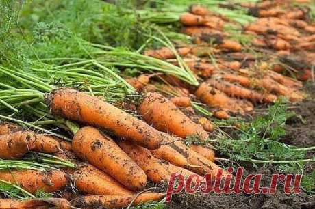 Секреты удобрения моркови   6 соток