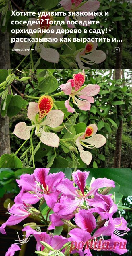 Хотите удивить знакомых и соседей? Тогда посадите орхидейное дерево в саду! - рассказываю как вырастить и ухаживать за баухинией   Садовый рай 🌱   Яндекс Дзен