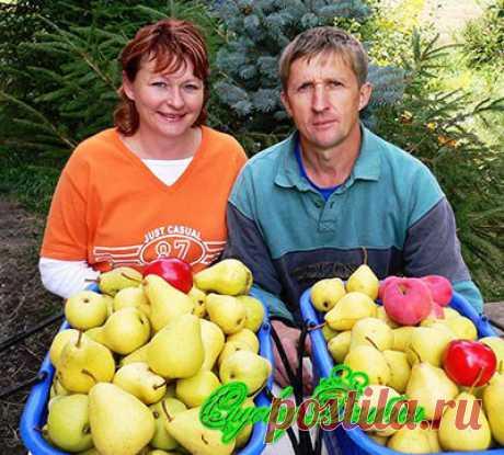 Купить грушу. Сорта груш для Оренбурга.